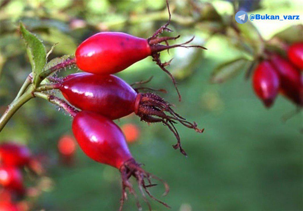 نسترن کوهی میوه ای سرشار از ویتامین